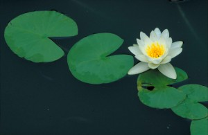 Nymphaea_odorata_fragrant_water_lily_flower[1]